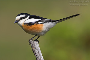 nubica shrike in forest