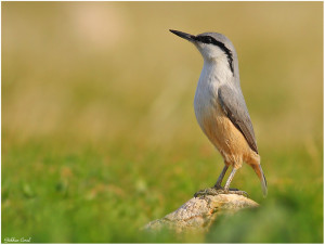 rock Nuthatch sitta neumayer