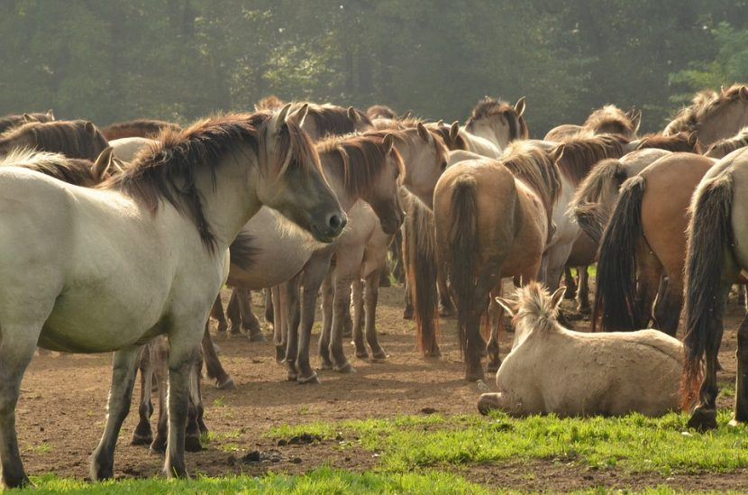 caballos salvajes puros Konik